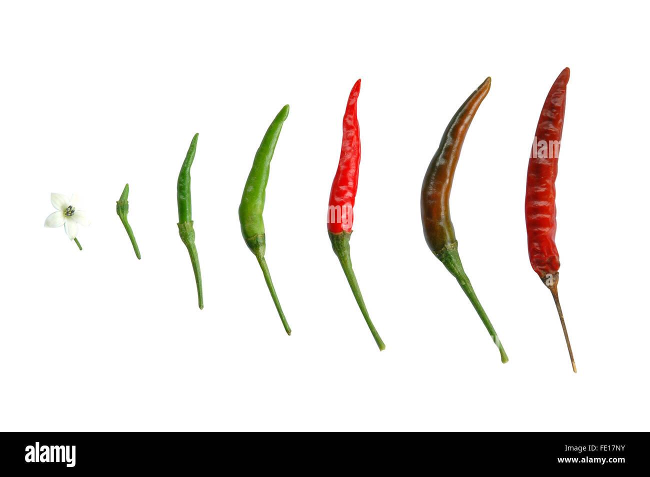 fresh chili - Stock Image