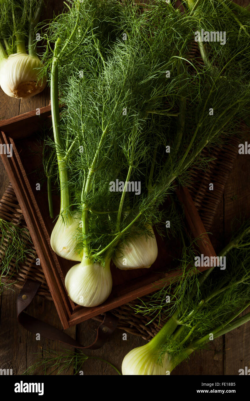 Raw Organic Fennel Bulbs Ready to Cook - Stock Image