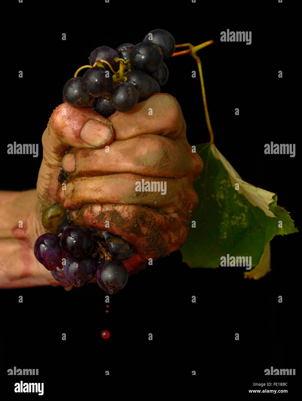 Dirty hand holding black grapes clenched in a fist squeezing against a black background colour - Stock Image
