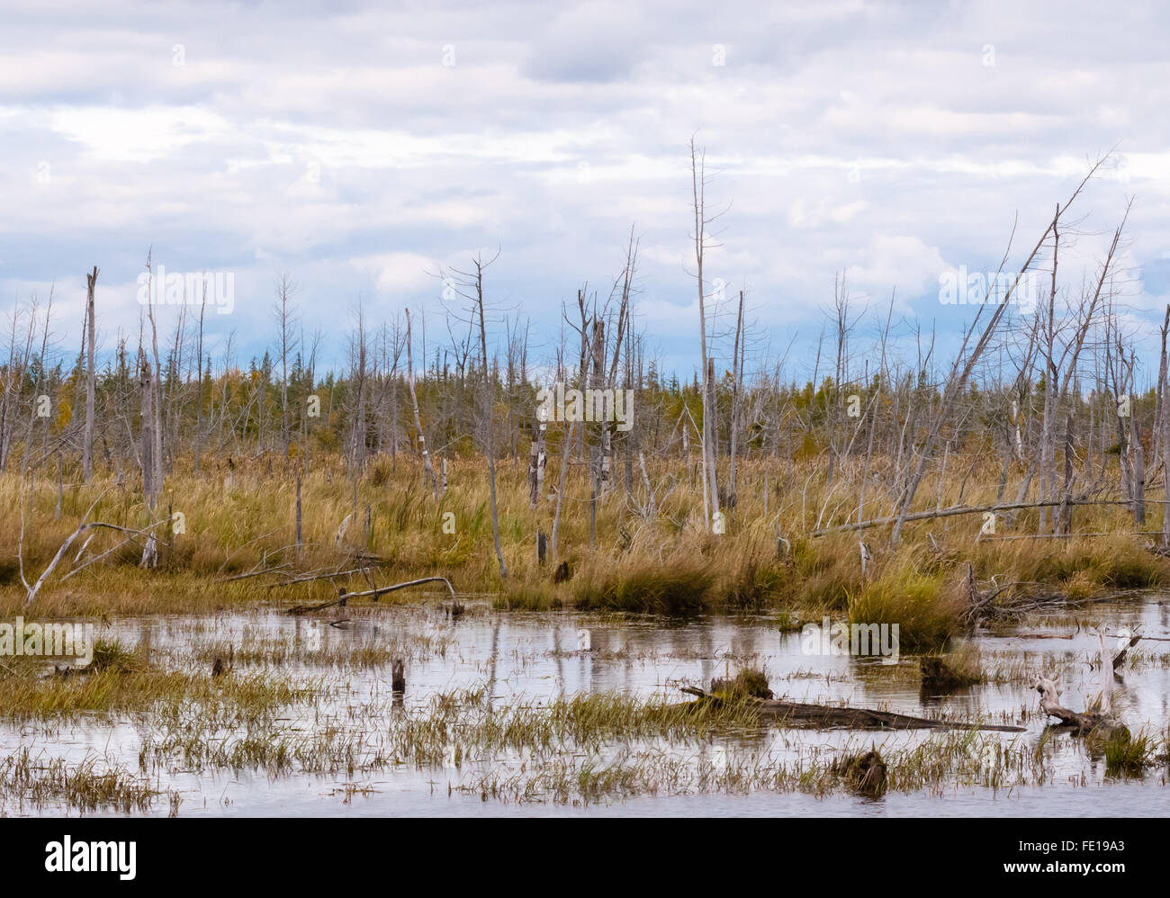 Decayed dead dry trees  and stumps in swamp against cloudy sky and forest in distance. Stock Photo