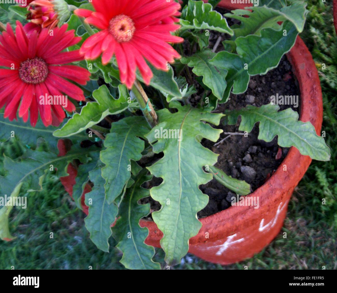 Gerbera jamesonii, Transvaal daisy, perennial ornamental herb with basal rosette of lobed leaves, radiate flower - Stock Image