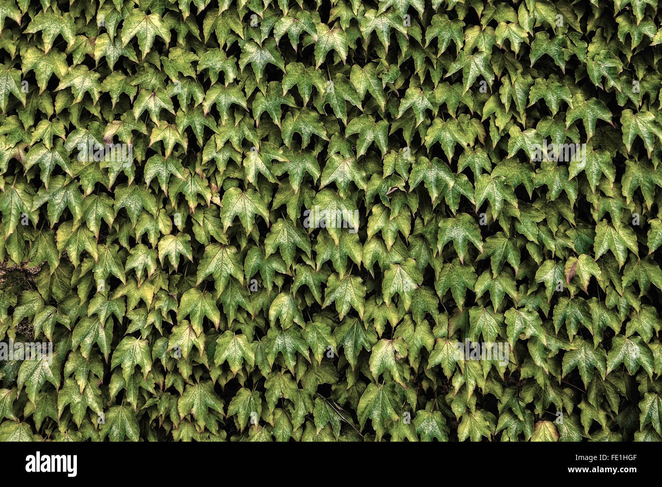 Ivy. Natural floral background. - Stock Image