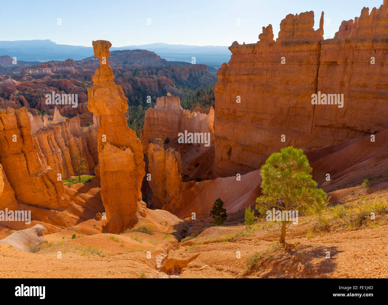 Bryce Canyon National Park, UT: Morning sun in the Bryce Amphitheater backlighting Thor's Hammer hoodoo and - Stock Image