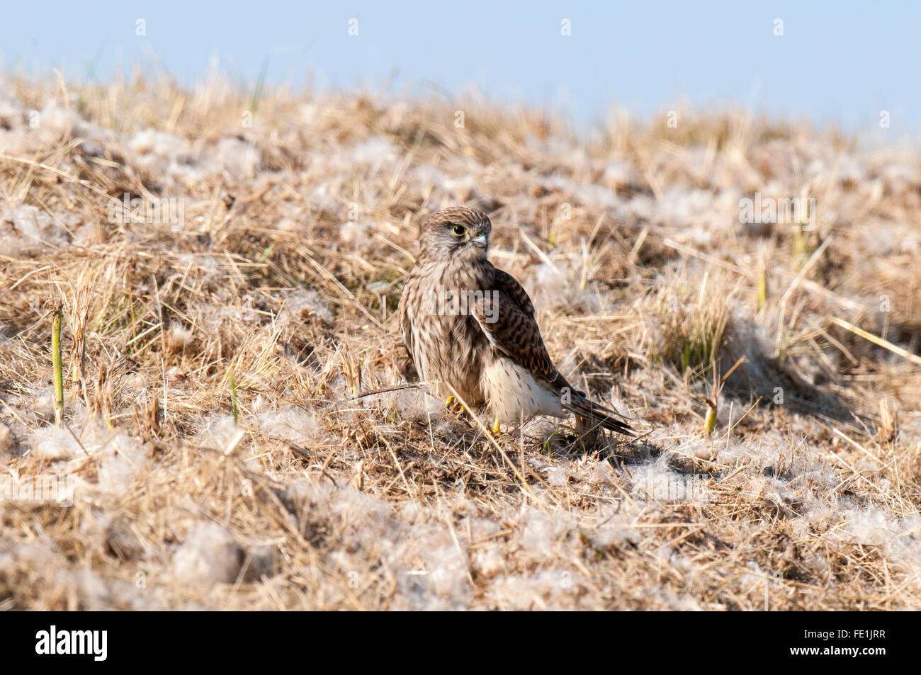 Kestrel (Falco tinnunculus) perched on a grassy bank covered in straw and fluffy seeds on the Isle of Sheppey, Kent. - Stock Image