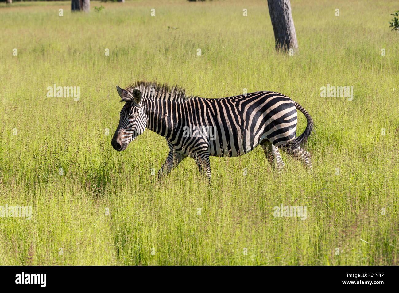 Plains Zebra, South Luangwa National Park, Zambia, Africa - Stock Image