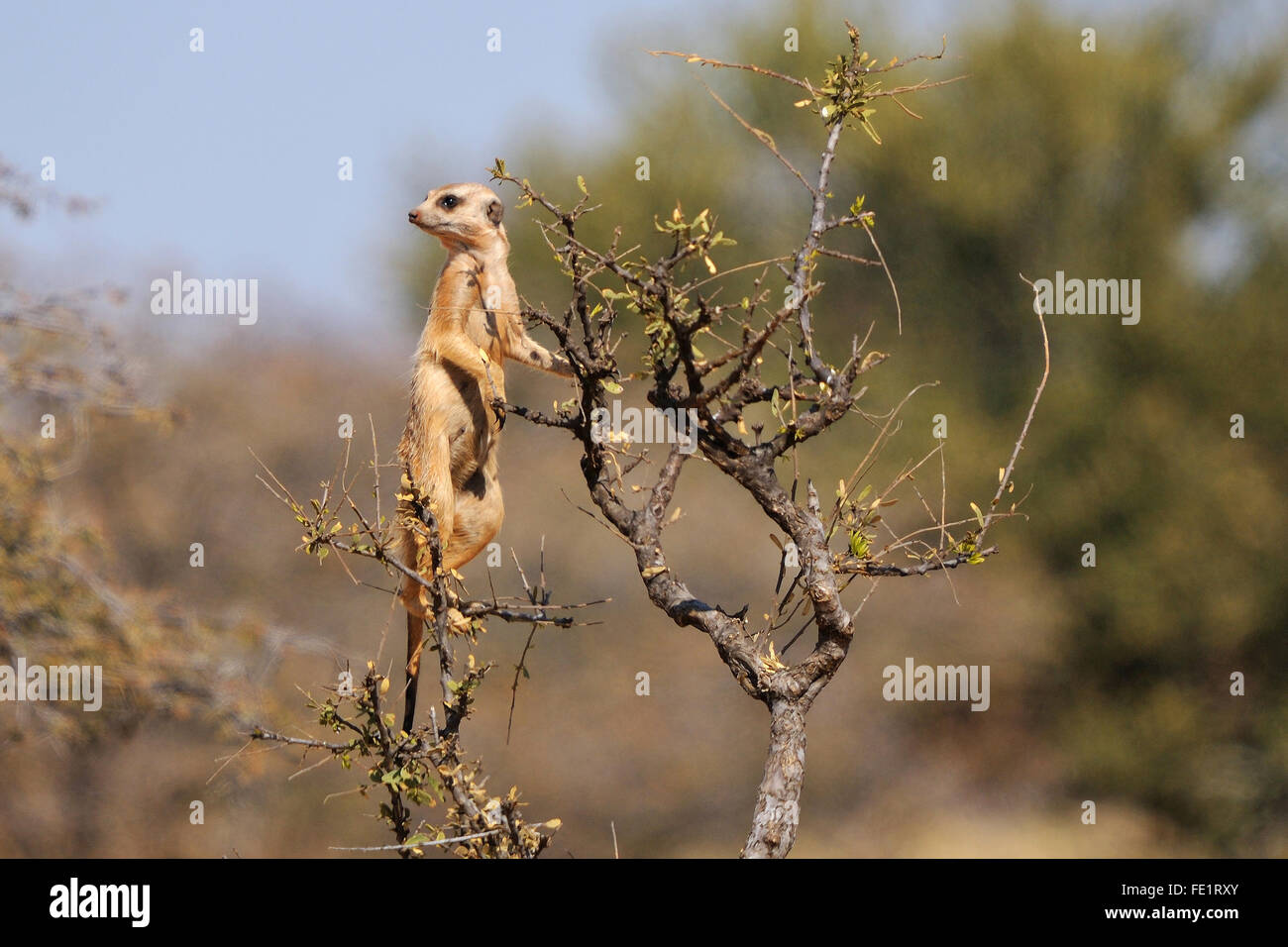 The meerkat or suricate, Suricata suricatta, is a small mammal belonging to the mongoose family. This photo was - Stock Image