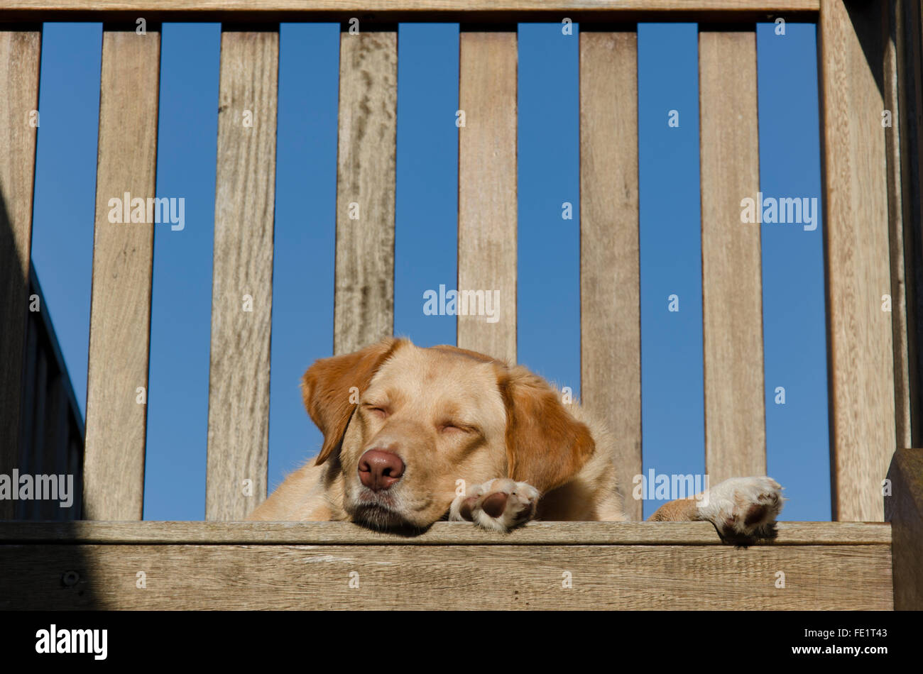 A sleepy golden haired Labrador cross dog lying on a timber deck - Stock Image