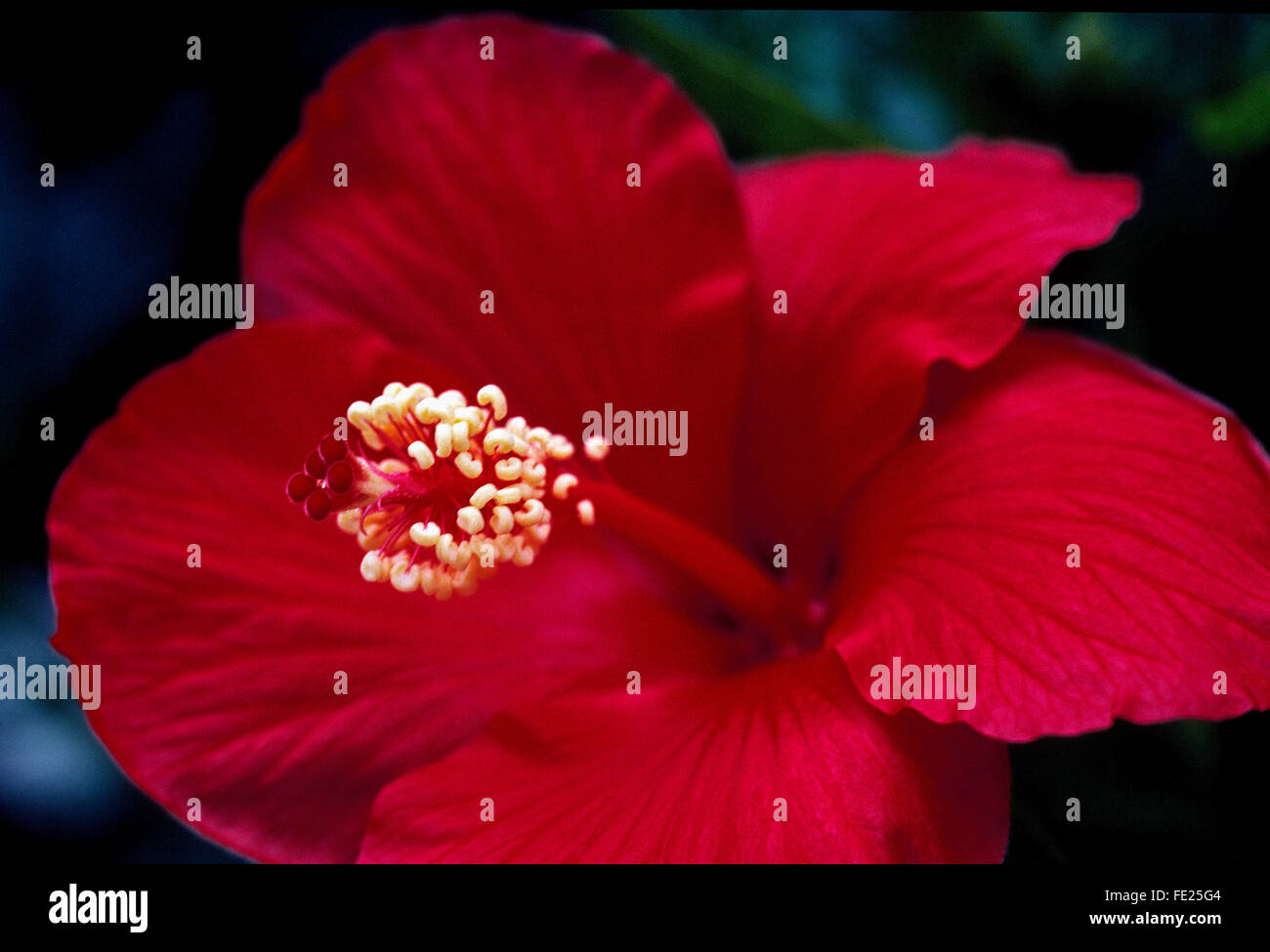 A close-up of a showy red Hibiscus flower with its prominent pistil and stamen. The hibiscus genus of flowering - Stock Image
