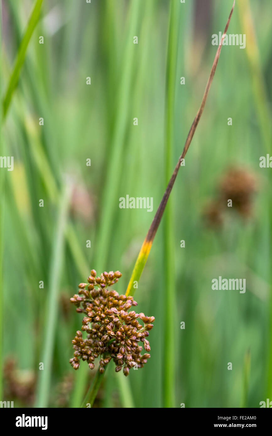 Soft rush (Juncus effusus) in flower. A common rush in the family Juncaceae in flower, growing on farmland in Somerset, - Stock Image
