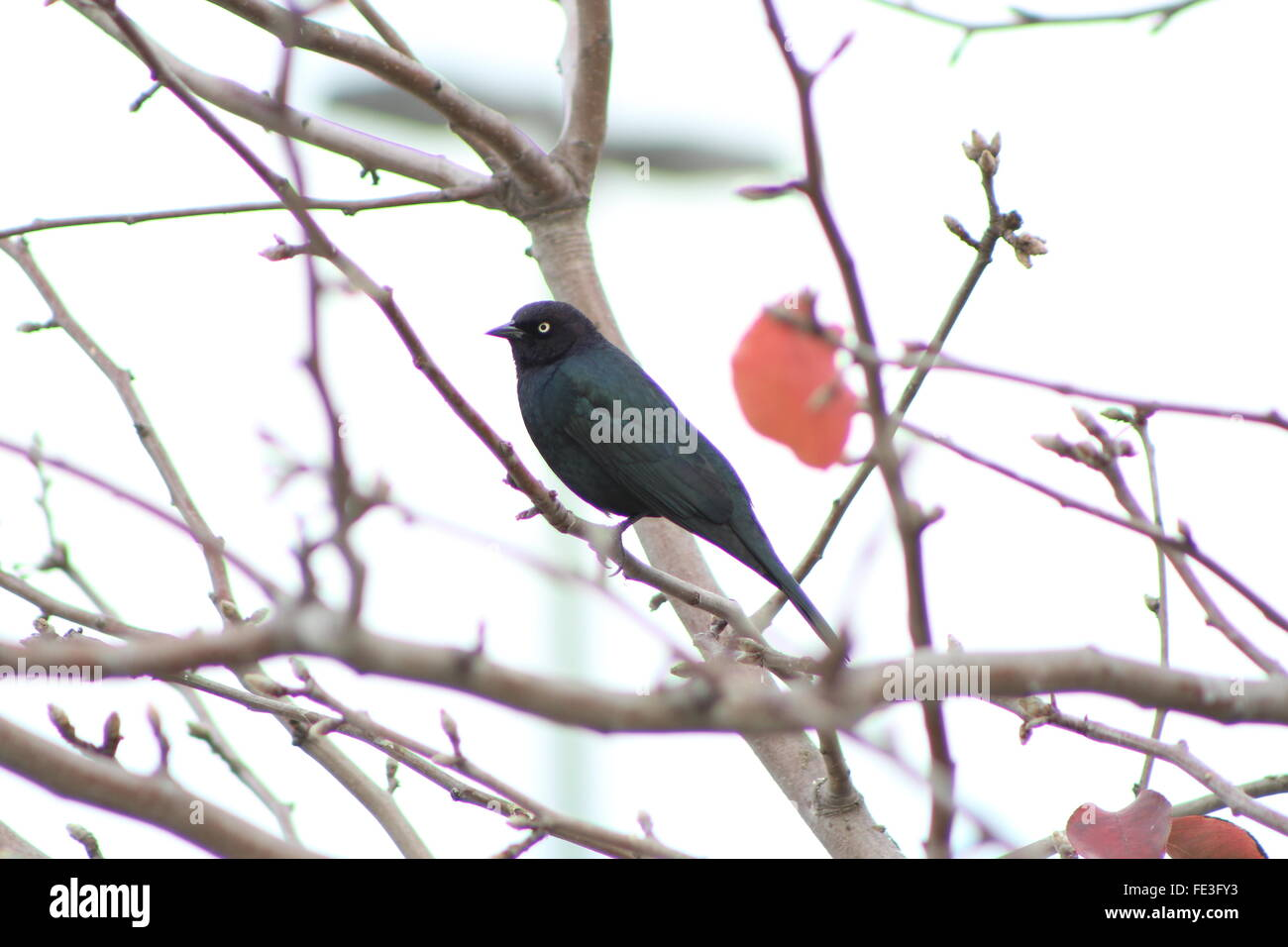Blackbird Perches On Tree - Stock Image
