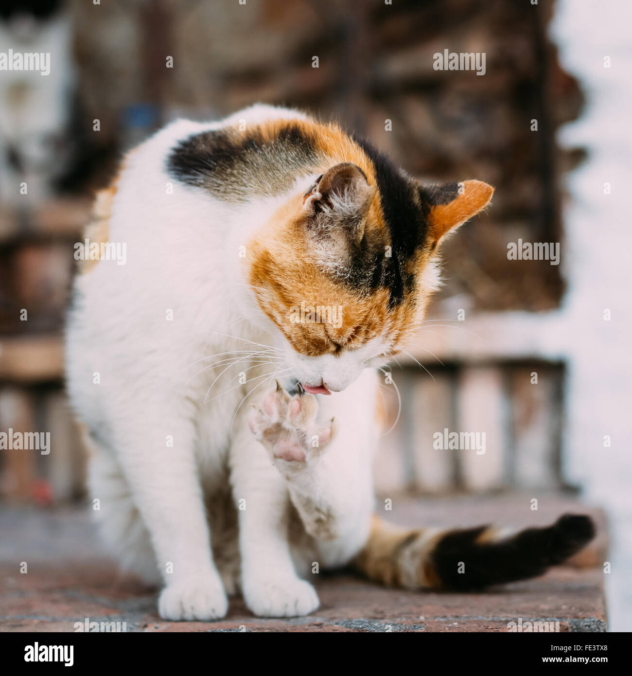 Cute Mongrel adult white cat with black spots and red washes itself Outdoor. Pet. Blurring background. - Stock Image