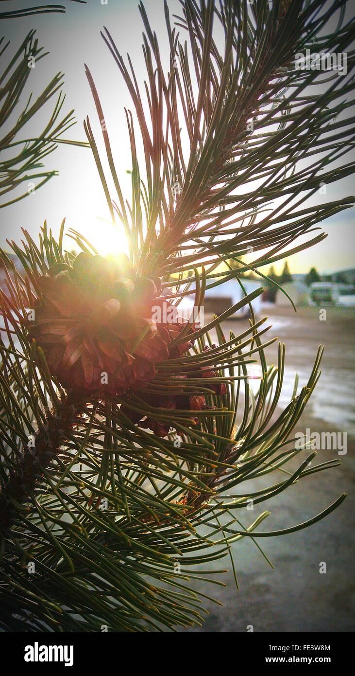 Spruce Branch In Sunlight - Stock Image