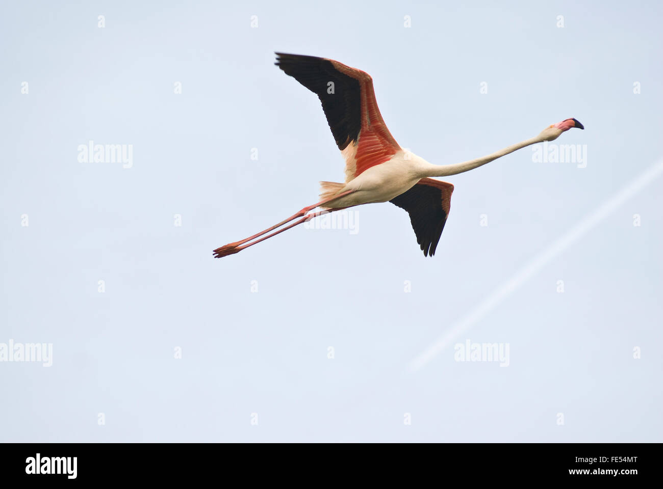 Europe, France, Provence, Camargue, Greater Flamingo, Phoenicopterus roseus. - Stock Image
