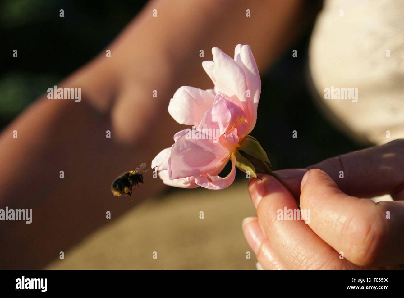 Cropped Image Of Woman Holding Pink Flower While Honey Bee Buzzing Around It - Stock Image