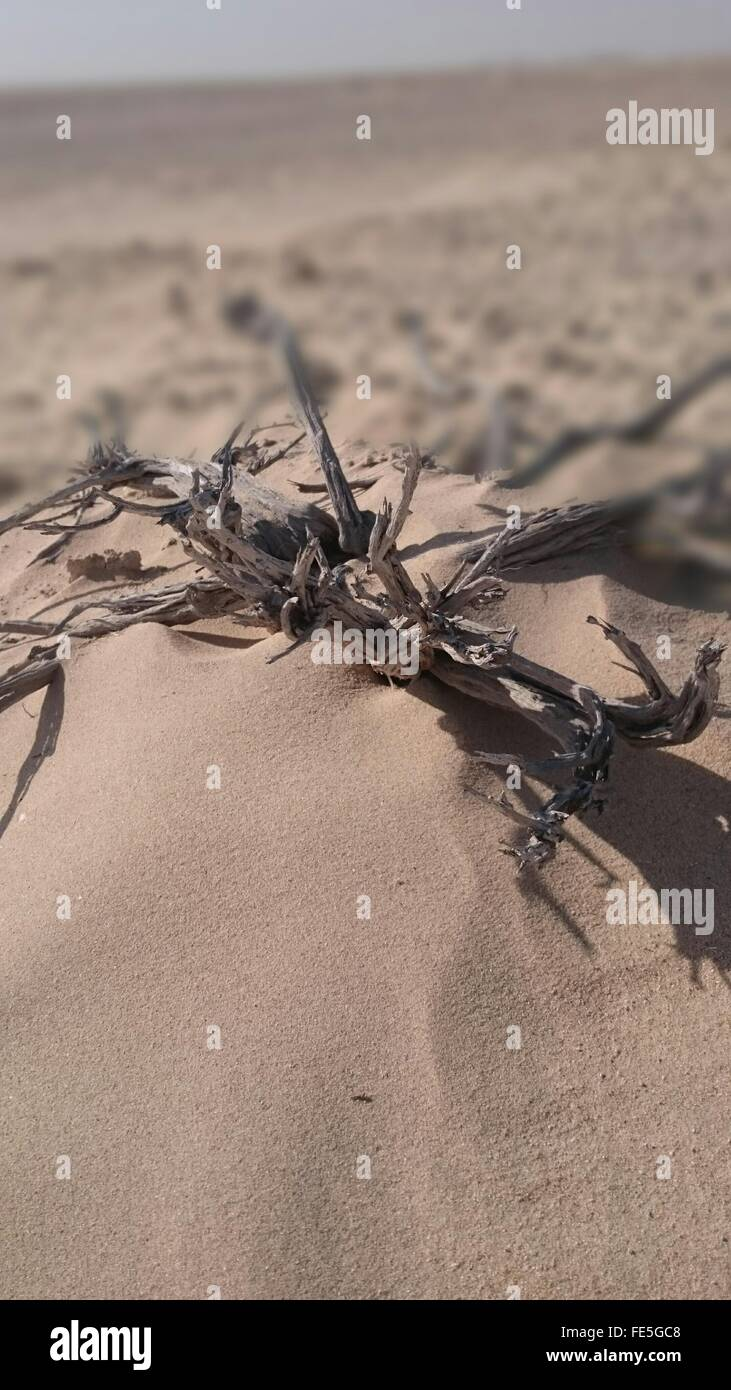 Dead Plant In Sand - Stock Image