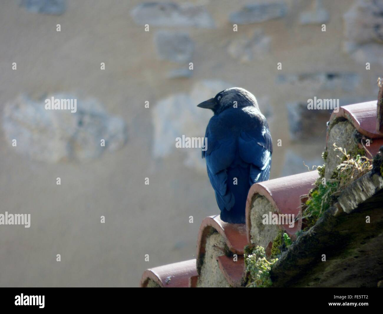 Australian Raven On Roof Against Wall - Stock Image