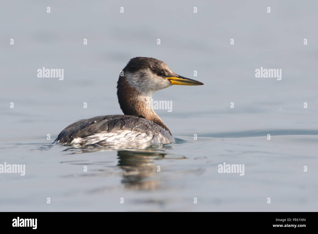 Red necked Grebe, - Stock Image