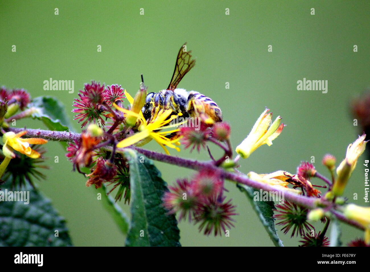Close-Up Of Honey Bee On Flower Outdoors - Stock Image