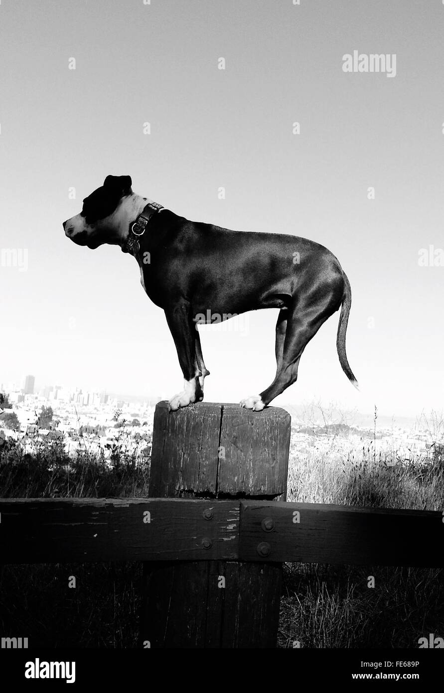 Side Profile Of Dog Standing On Wooden Post - Stock Image