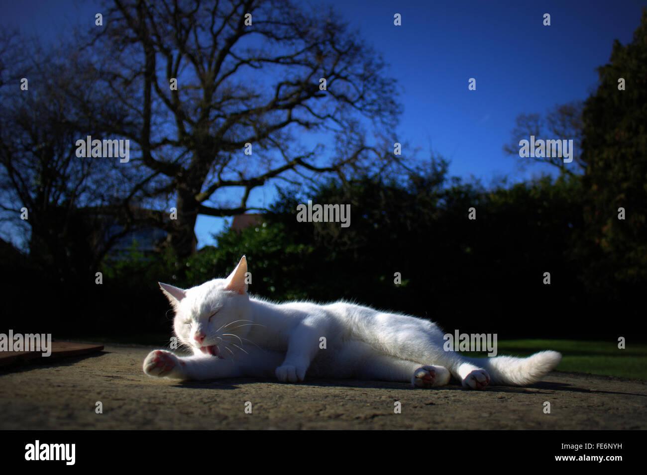 White Cat Yawning On Street At Night - Stock Image