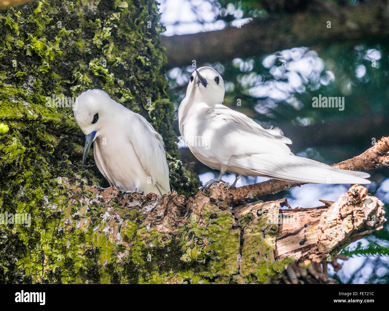 White Terns (Gypis alba) on Lord Howe Island in the Tasman Sea, Unincorporated area of New South Wales, Australia. - Stock Image