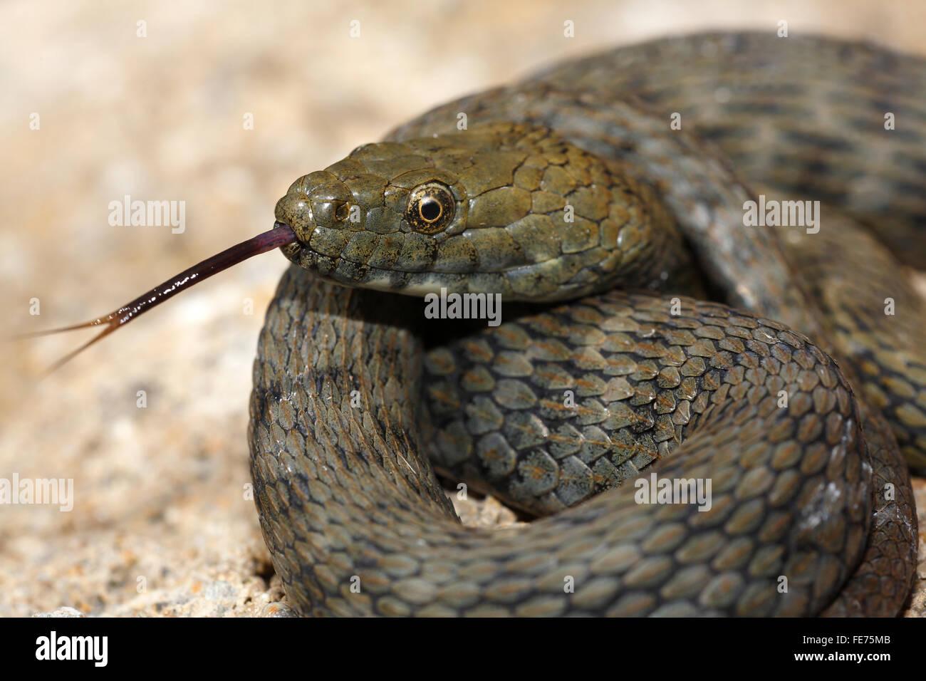 Lambent dice snake (Natrix tessellata), snake, Balaton Uplands National Park, Lake Balaton, Hungary - Stock Image
