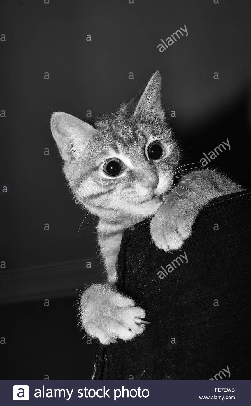 Cat Looking Surprisingly Over Sofa - Stock Image