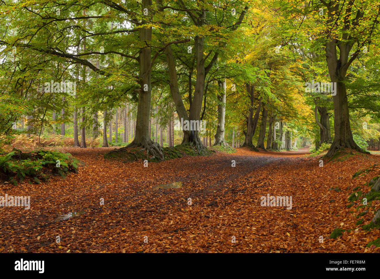 The ancient beech tree avenue and woodland track within Harlestone Firs on the edge of Northampton, Northamptonshire, - Stock Image