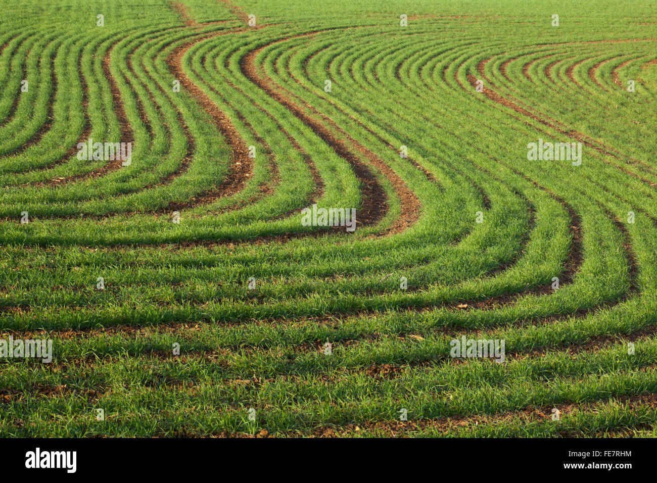 A field of winter sown wheat or barley in a sweeping 'S' shape pattern in the Northamptonshire countryside, - Stock Image