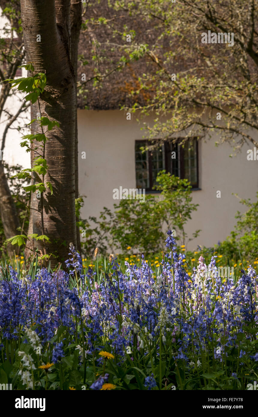 bluebells in front of cottage - Stock Image