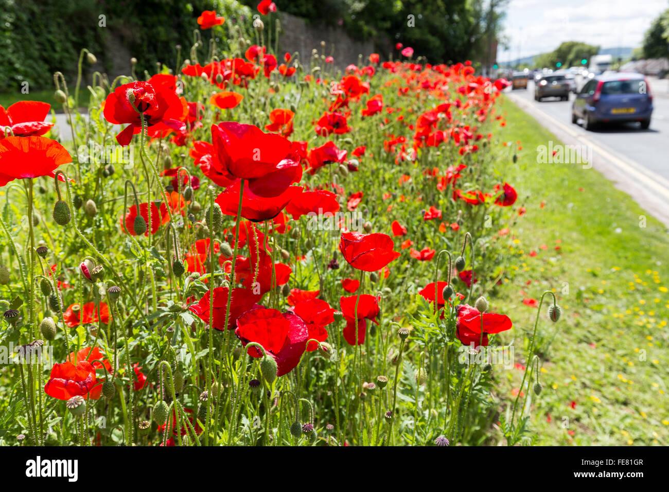 Common poppy growing on roadside verge, Hereford, UK - Stock Image