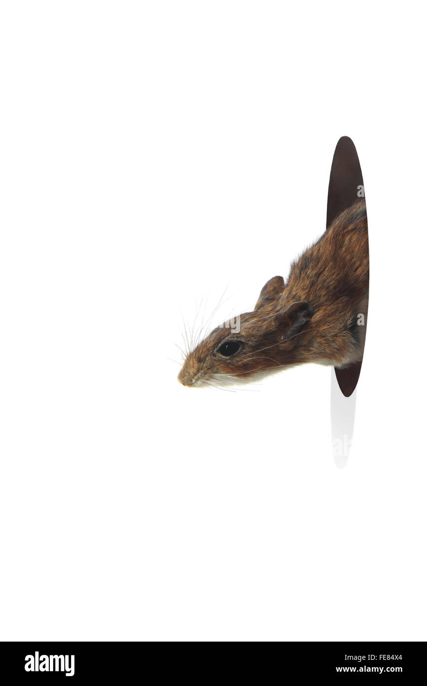 Mouse Peeking Out From Hole in a Wall on a White Background - Stock Image