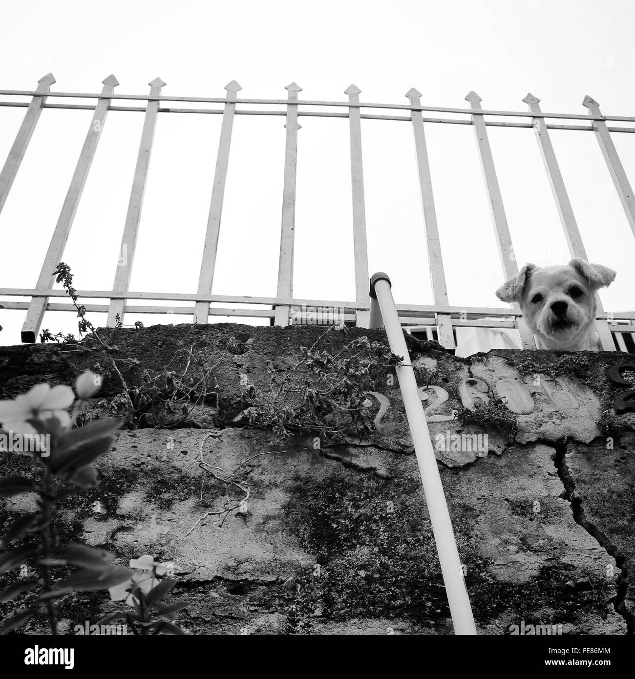 Low Angle View Of Curious White Puppy Peeking In Fence - Stock Image