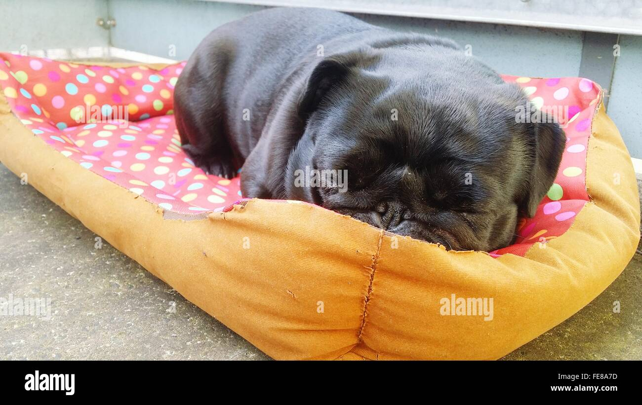 Cute Black Pug Resting On Pet Bed - Stock Image