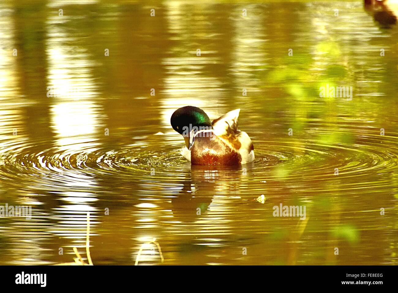 High Angle View Of Mallard Duck Swimming In Pond Stock Photo