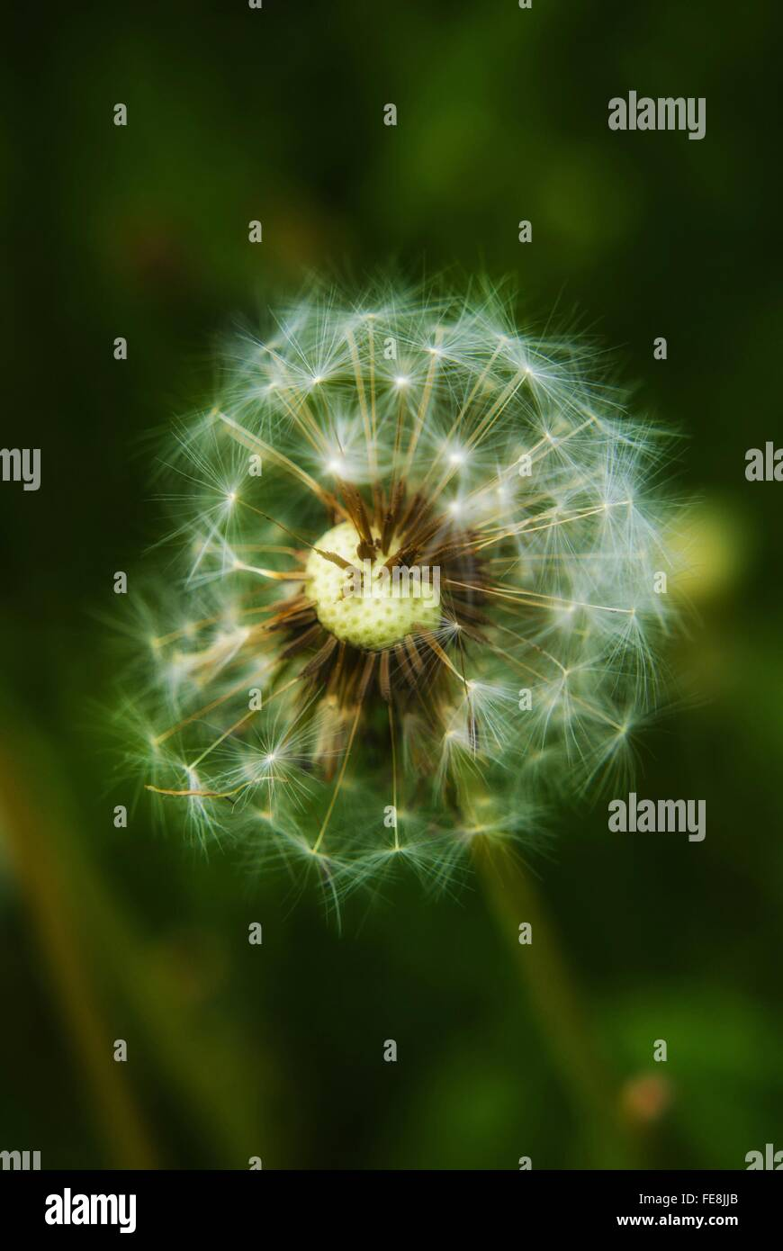 Close-Up Of Dandelion Blooming Outdoors - Stock Image