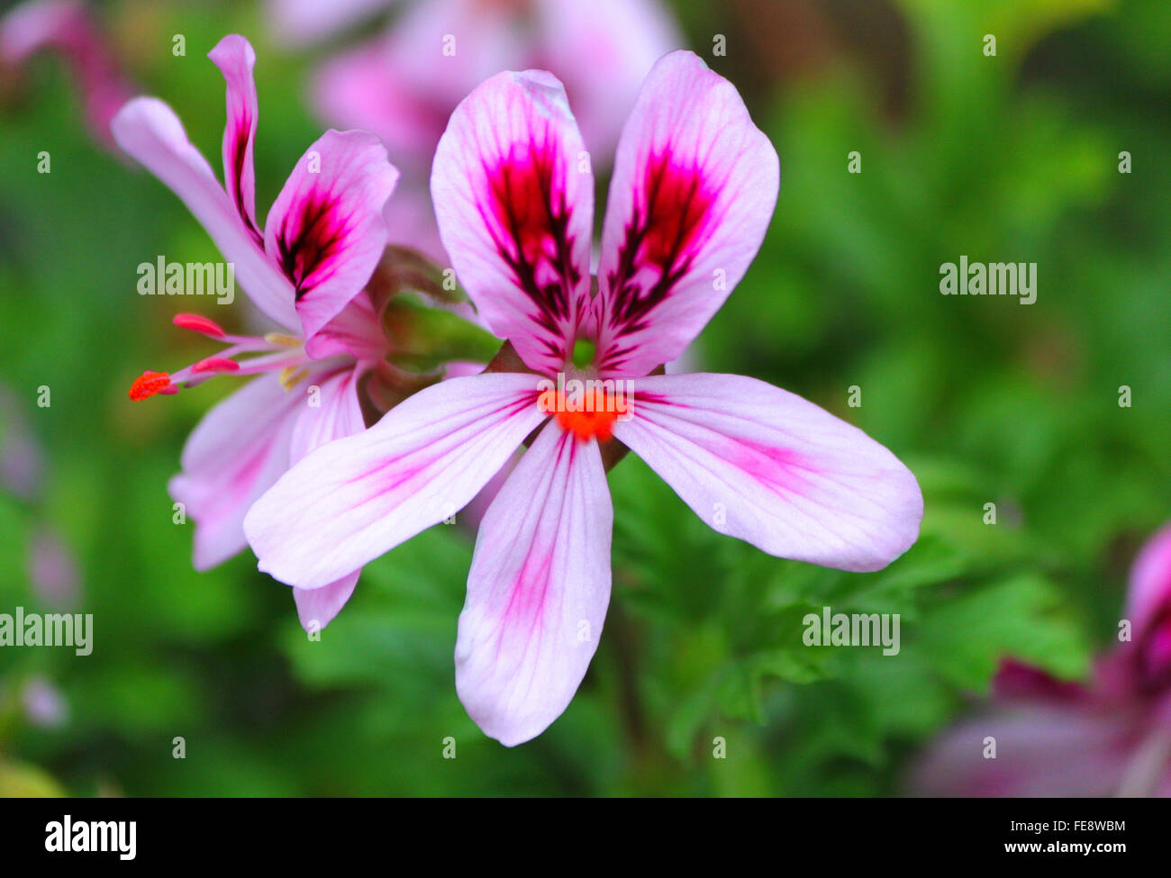 Close Up Of Pink Pansy Flowers Stock Photo 94852568 Alamy