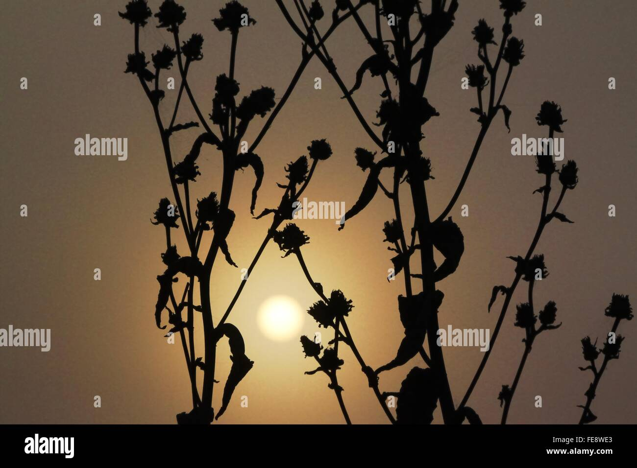 Silhouette Dead Plants During Sunset - Stock Image