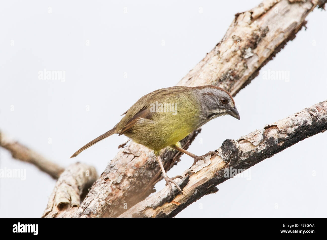 Zapata sparrow (Torreornis inexpectata) single adult perched in tree, Zapata swamp, Cuba - Stock Image