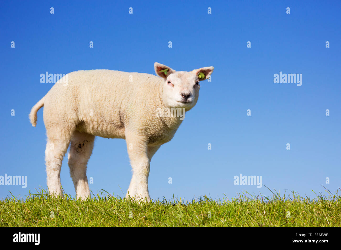A cute little Texel lamb in the grass on the island of Texel in The Netherlands on a sunny day. - Stock Image