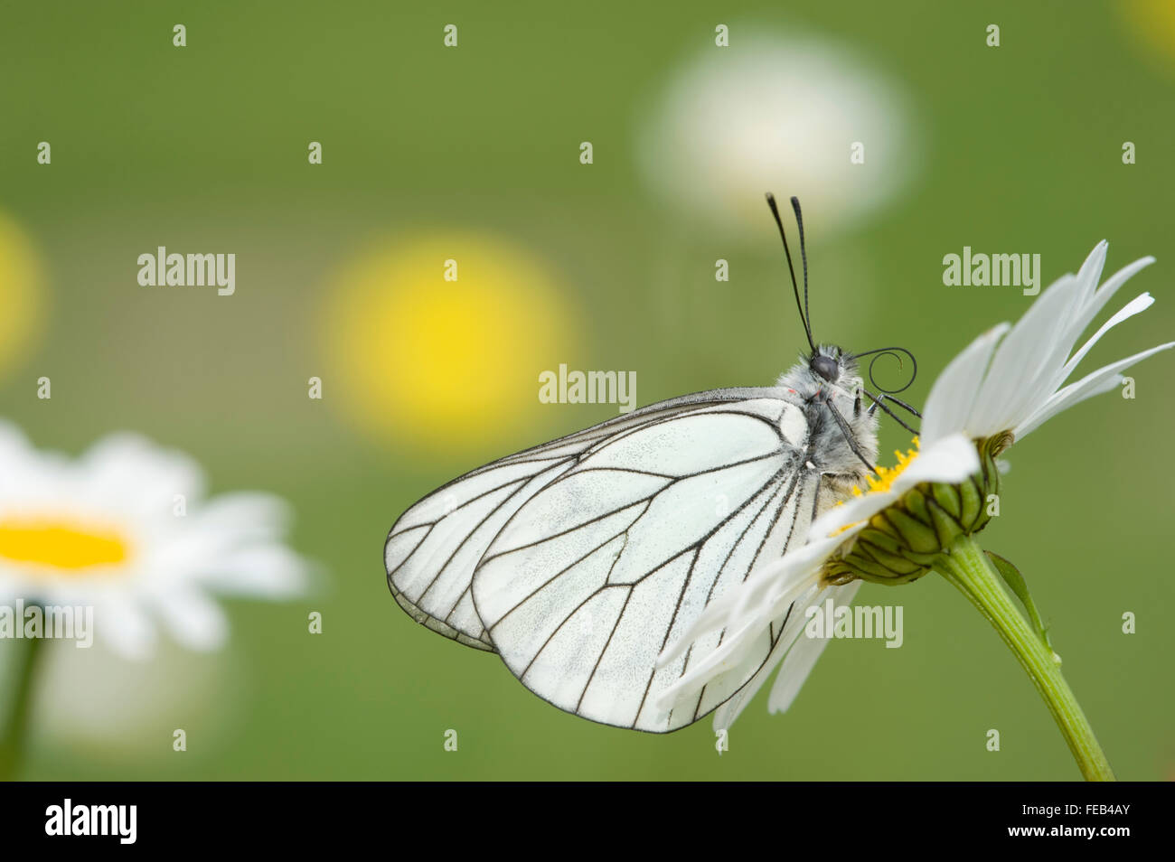 Black Veined White Butterfly,Aporia crataegi;a european butterfly and scarce vagrant to britain - Stock Image