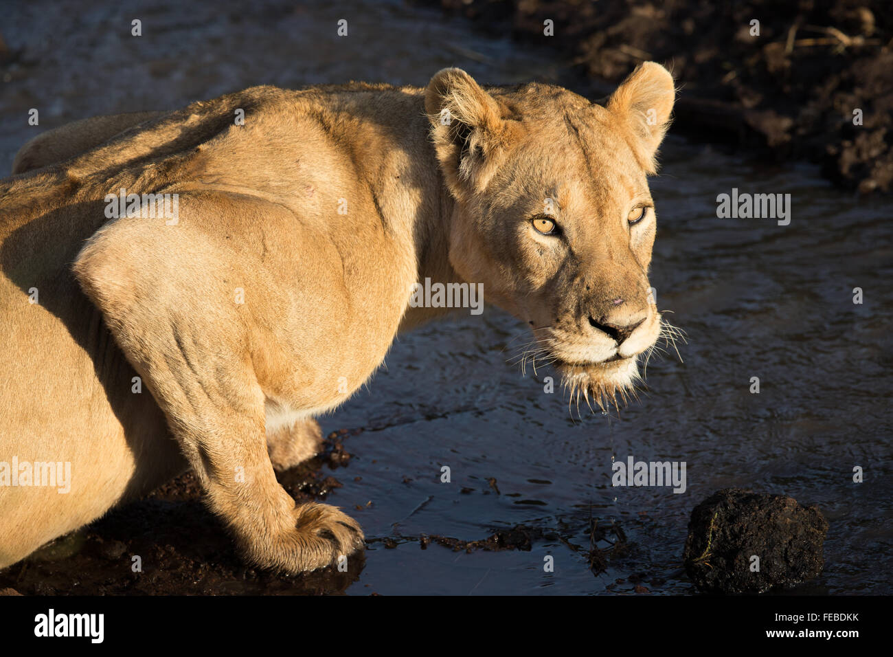 African Lioness drinking in the Ngorongoro Crater Tanzania - Stock Image