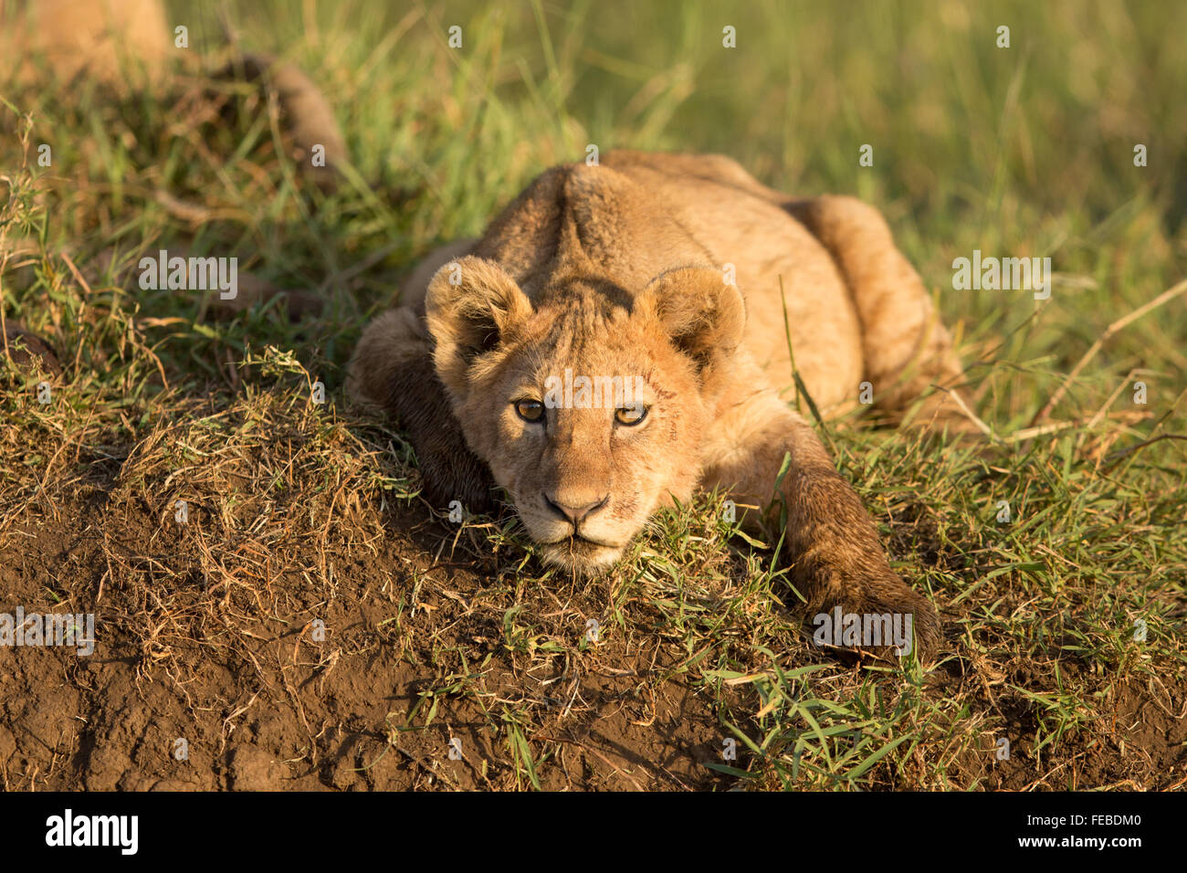 African Lion cub resting in the Ngorongoro Crater Tanzania - Stock Image