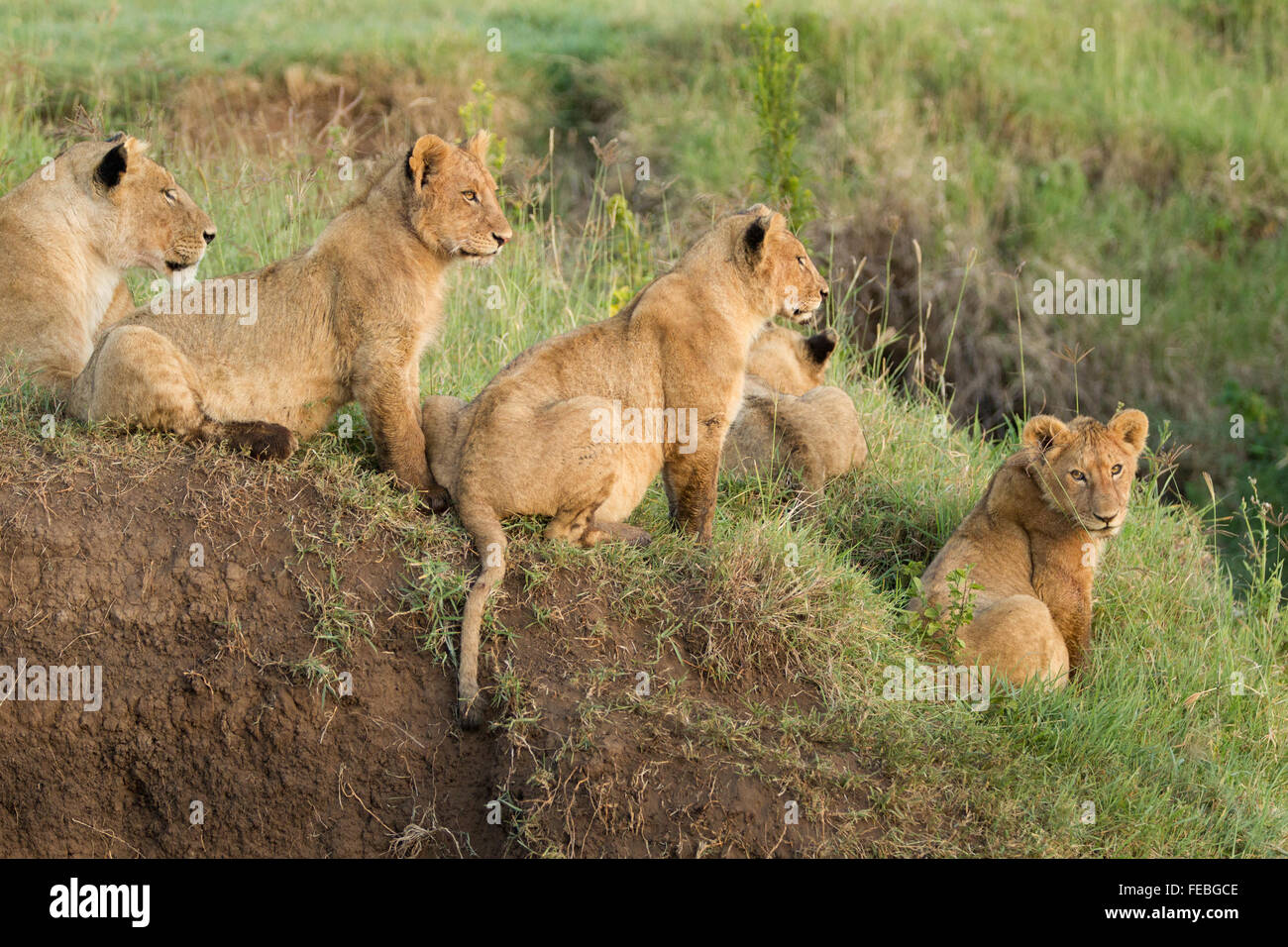 African Lion pride in the Ngorongoro Crater Tanzania - Stock Image