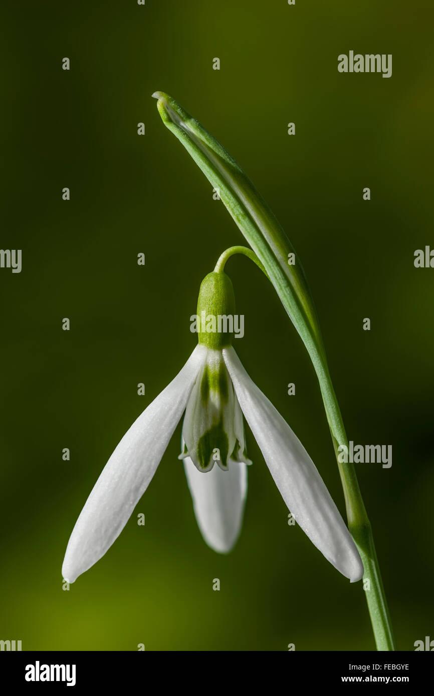Galanthus nivalis 'Wasp' - Stock Image