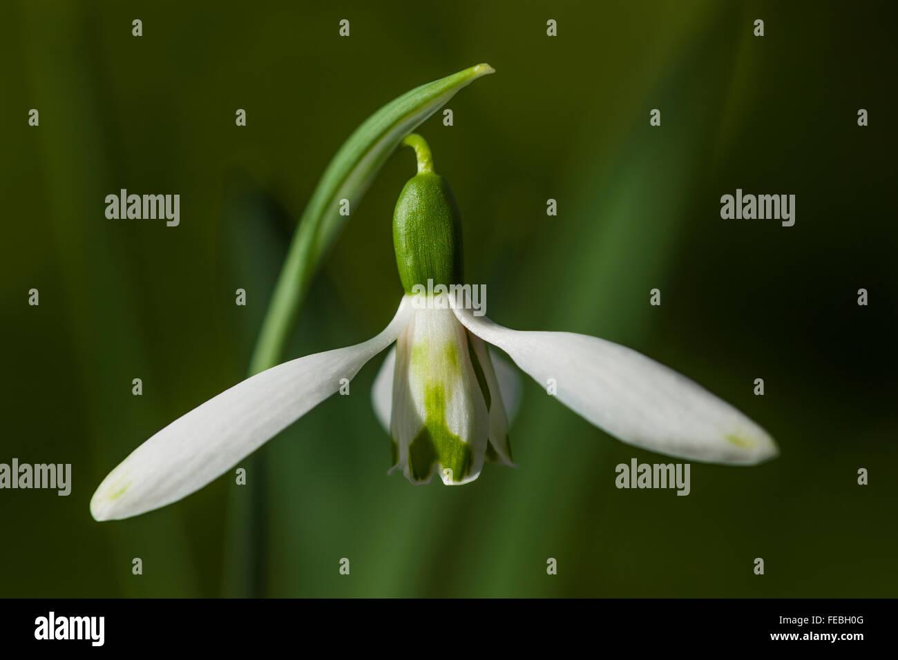 Galanthus nivalis 'Daphne's Scissors' - Stock Image