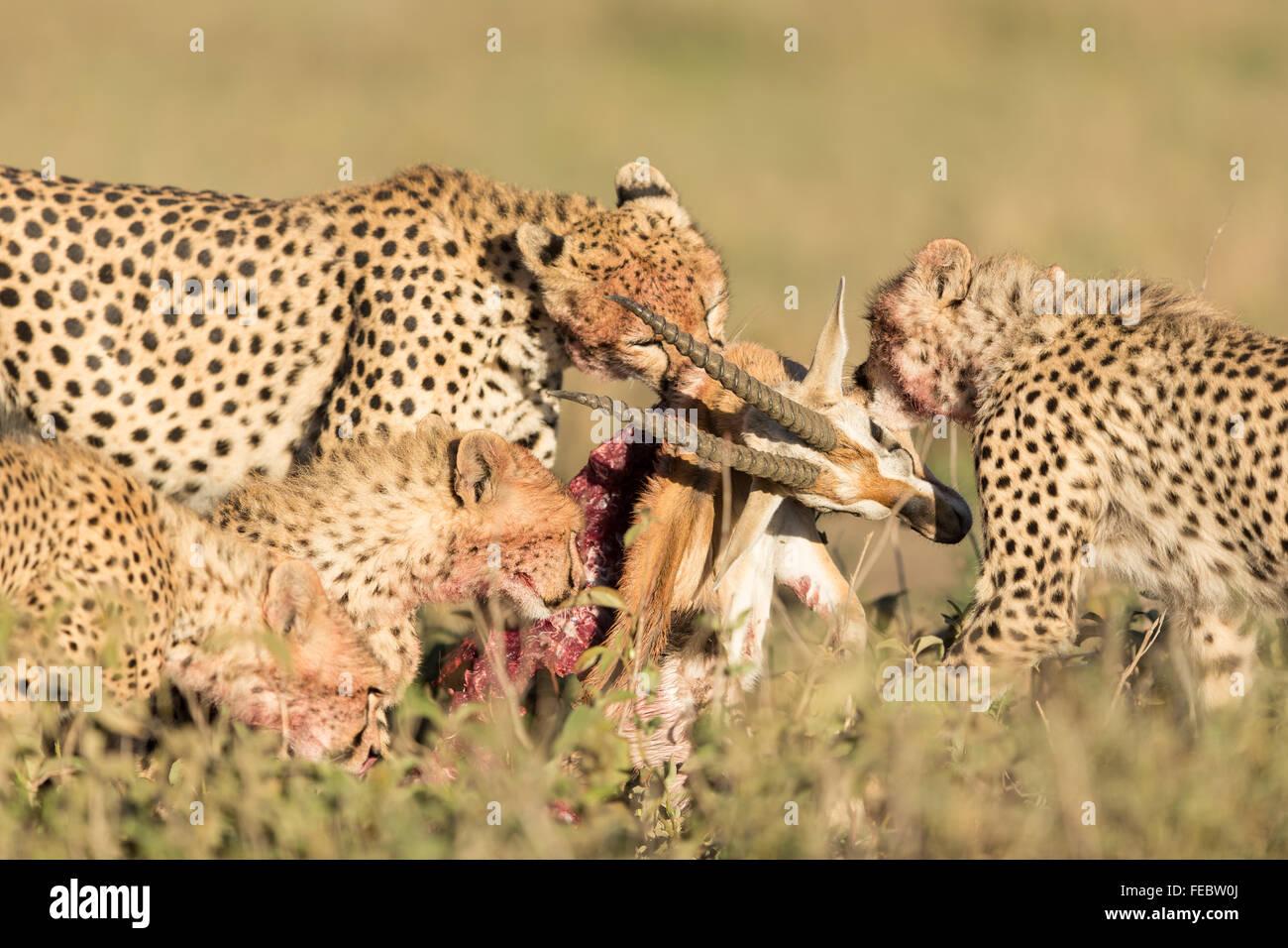 Four Sub Adult Cheetah feeding on gazelle in the Serengeti National Park Tanzania - Stock Image