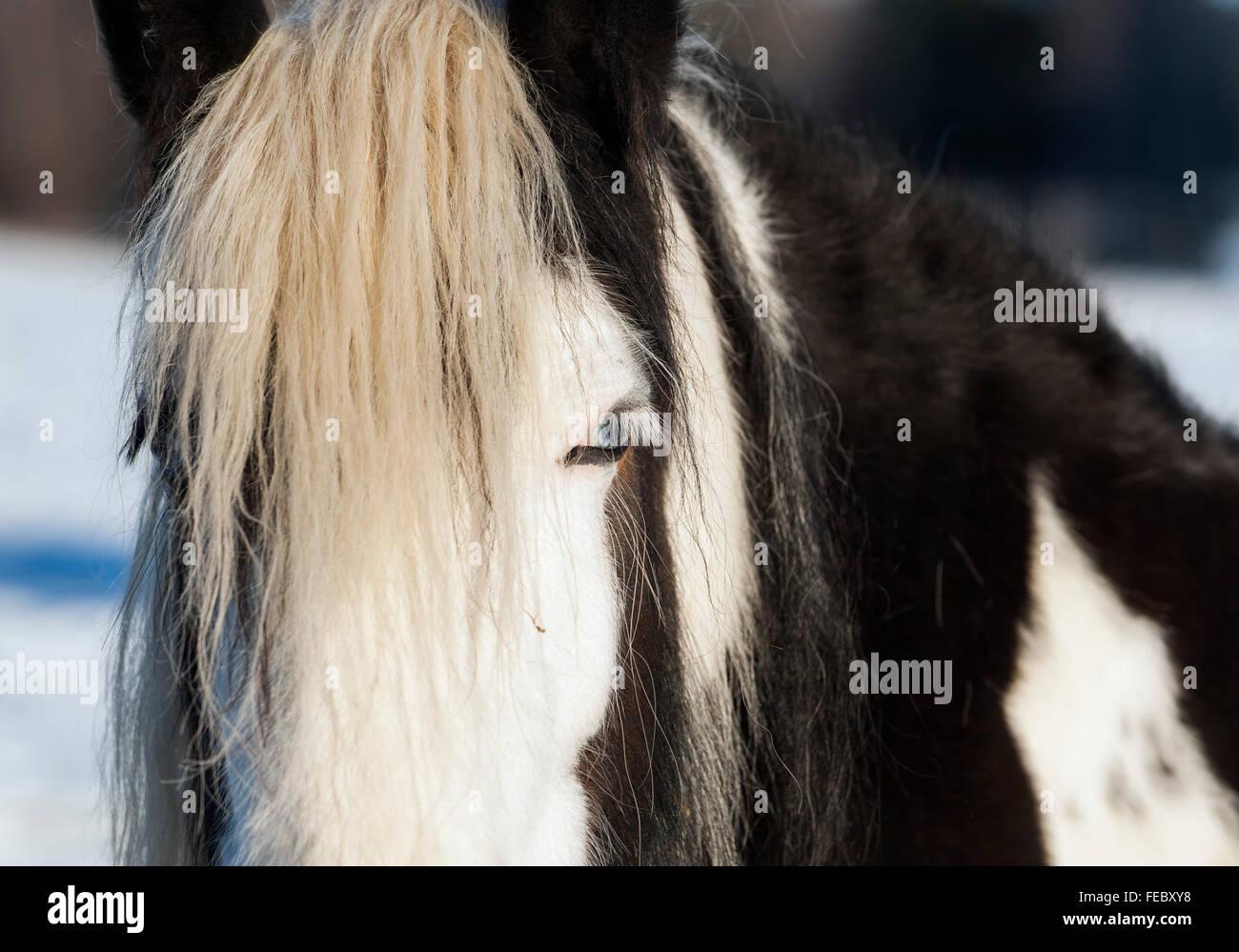 Gypsy Horse - Stock Image