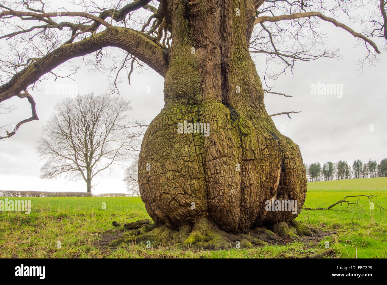 A tree with a bulbous trunk near the River Ribble at Hurst Green, Lancashire, UK. - Stock Image