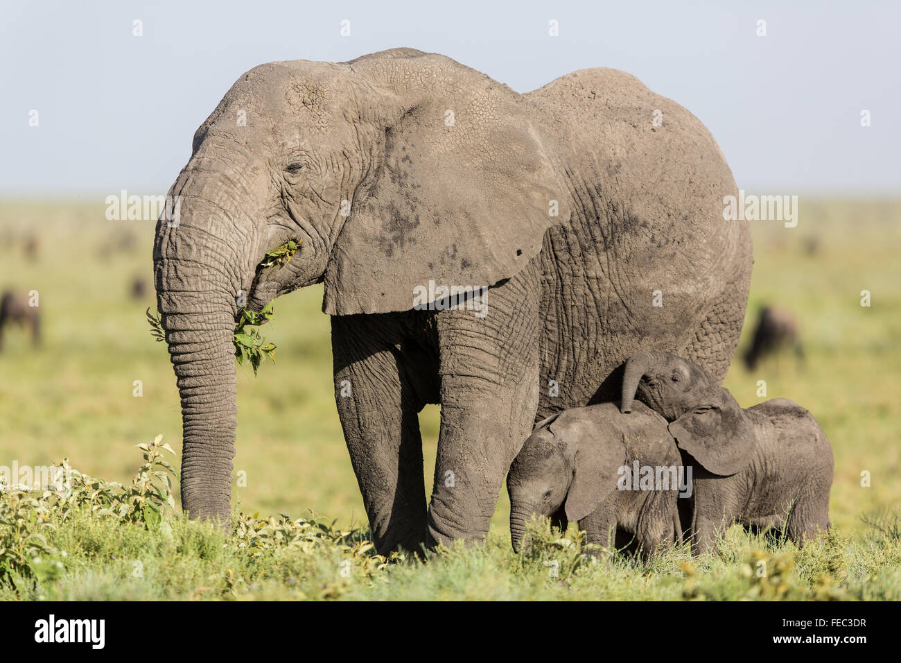 Female African Elephant and two young feeding in the Serengeti National Park Tanzania - Stock Image